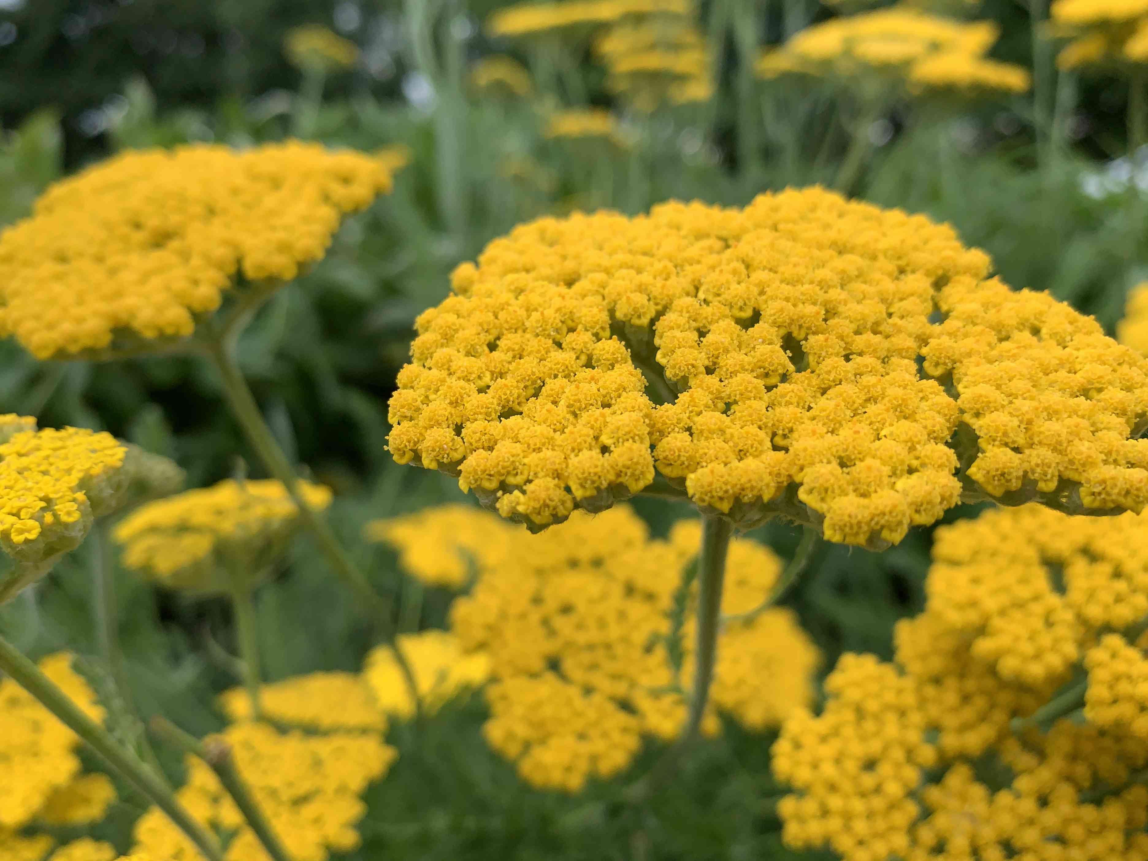 Yarrow in Flower Garden