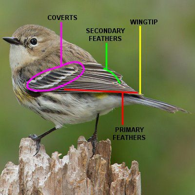 guide to major parts and feathers of bird wings
