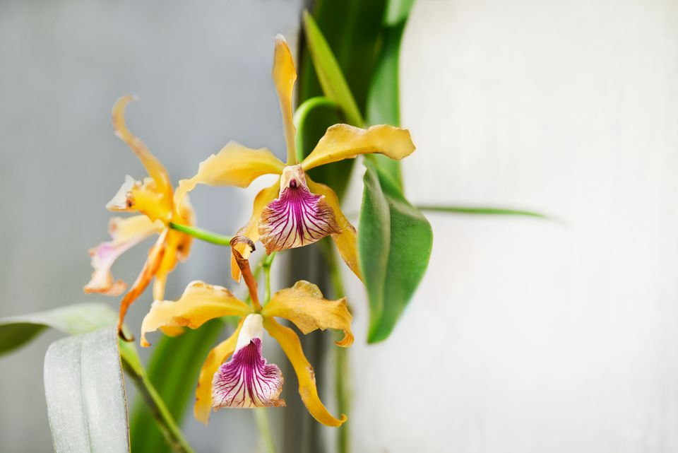 Laelia orchids with yellow and pink and white striped flowers closeup