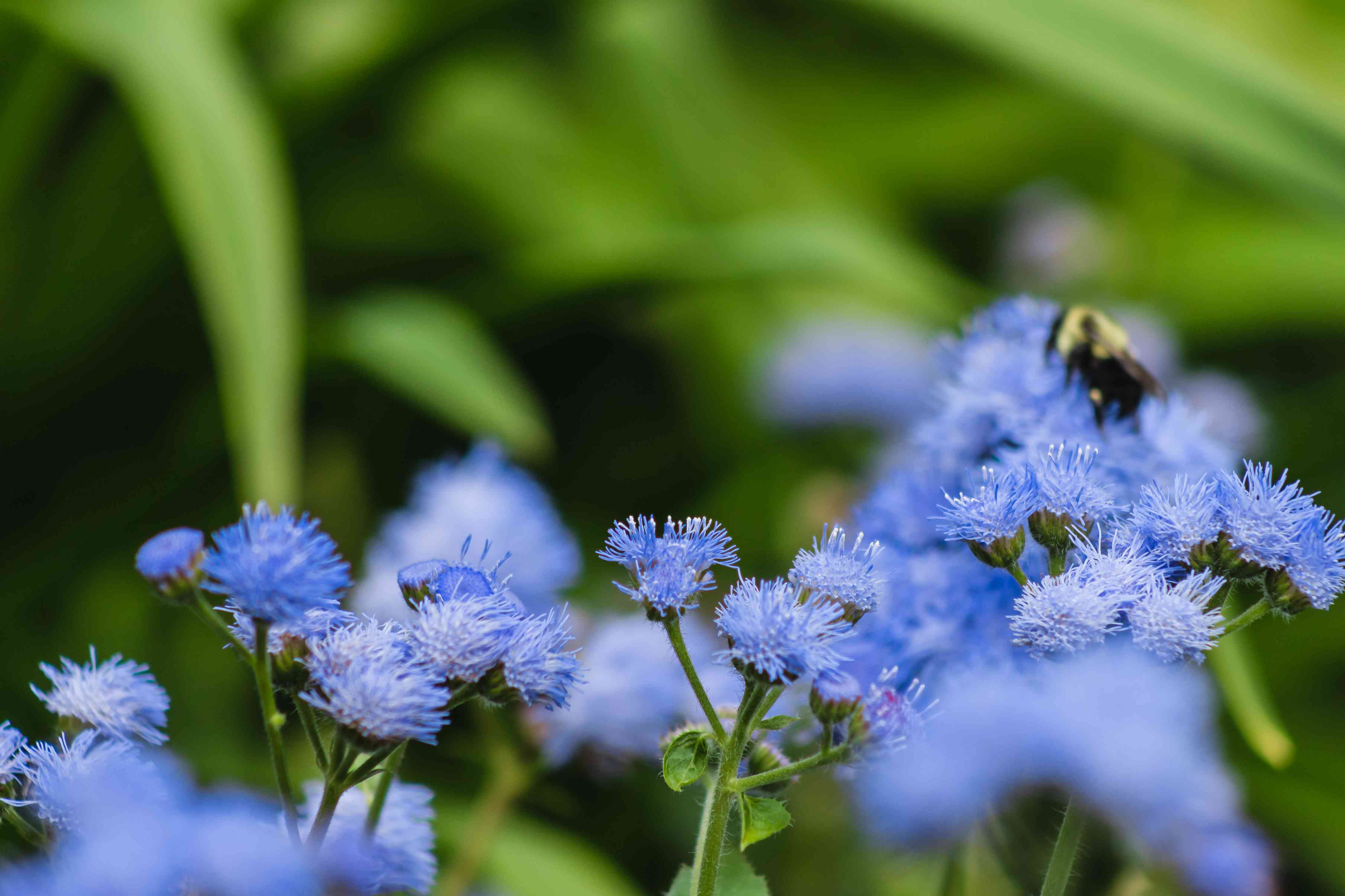Blue ageratum with blue flowers and leaves and bee in background