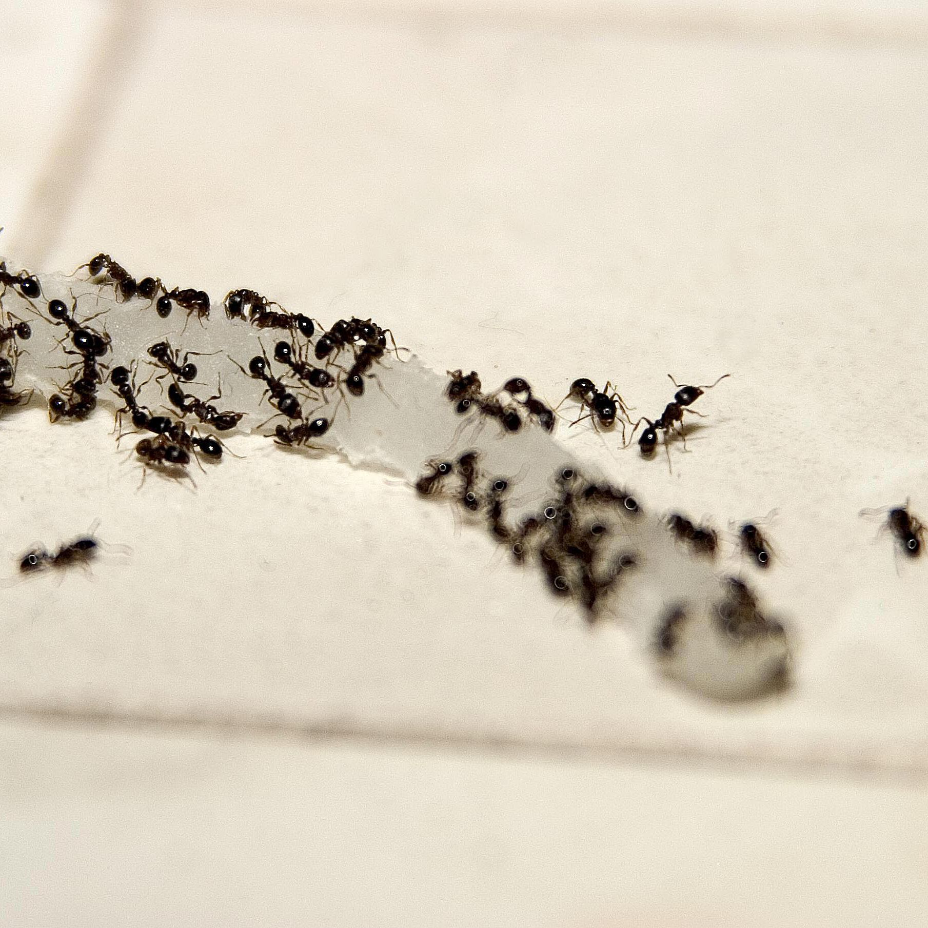 Ants In Bathroom | How To Get Rid Of Stinky Odorous House Ants