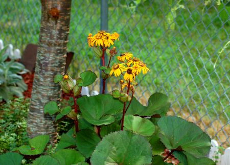 12 great perennials for shade and how to grow them leopard plant image is a shade perennial i grow mine under a cherry mightylinksfo