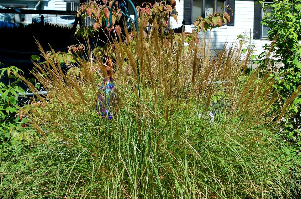 Maiden grass (image) is at its best when it develops tassles. It is one of the taller types.