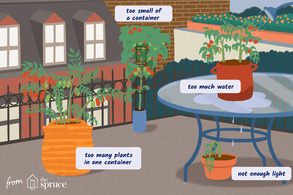 Illustration of common problems with tomato plants