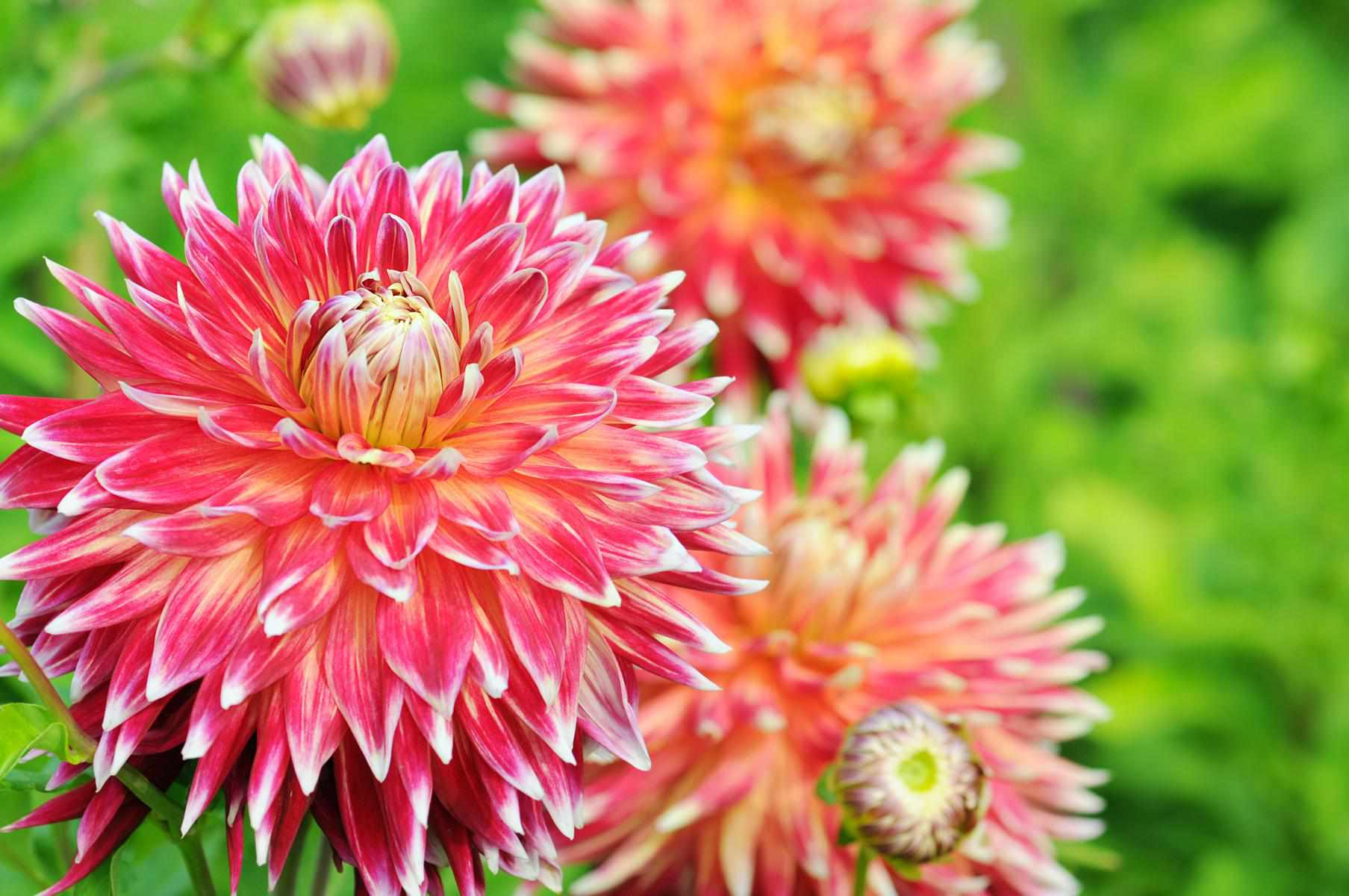 How to grow and care for dahlia plants izmirmasajfo