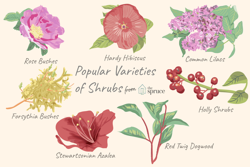 illustration of popular varieties of shrubs