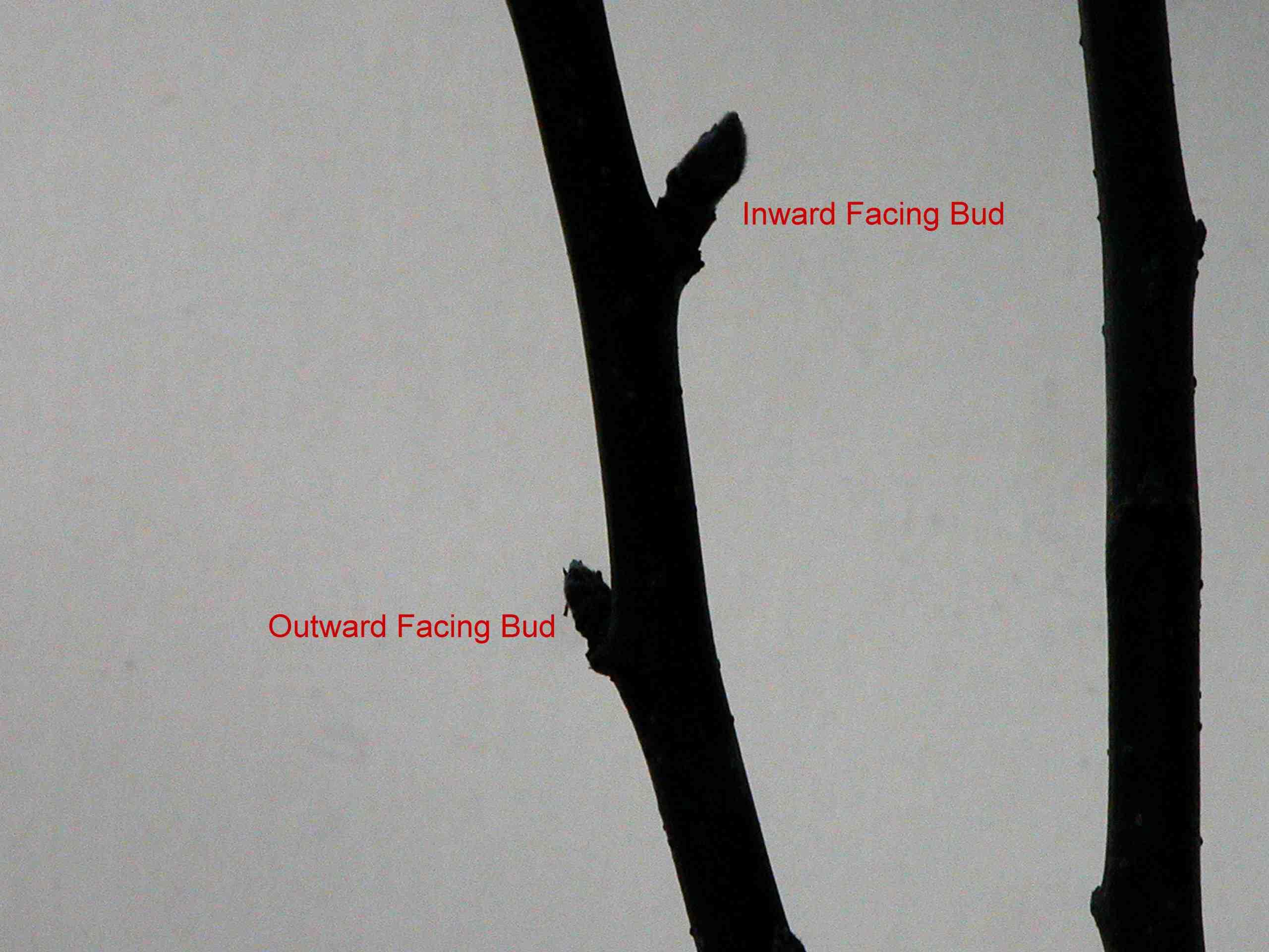 Outward facing bud on apple tree