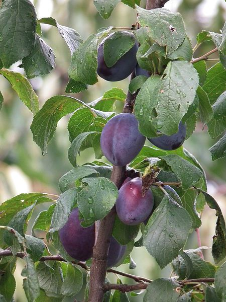 19 Trees And Shrubs From The Prunus Genus