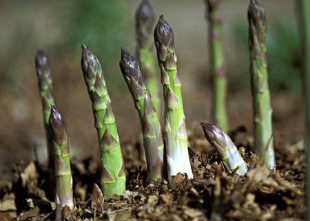 Image result for Asparagus plant