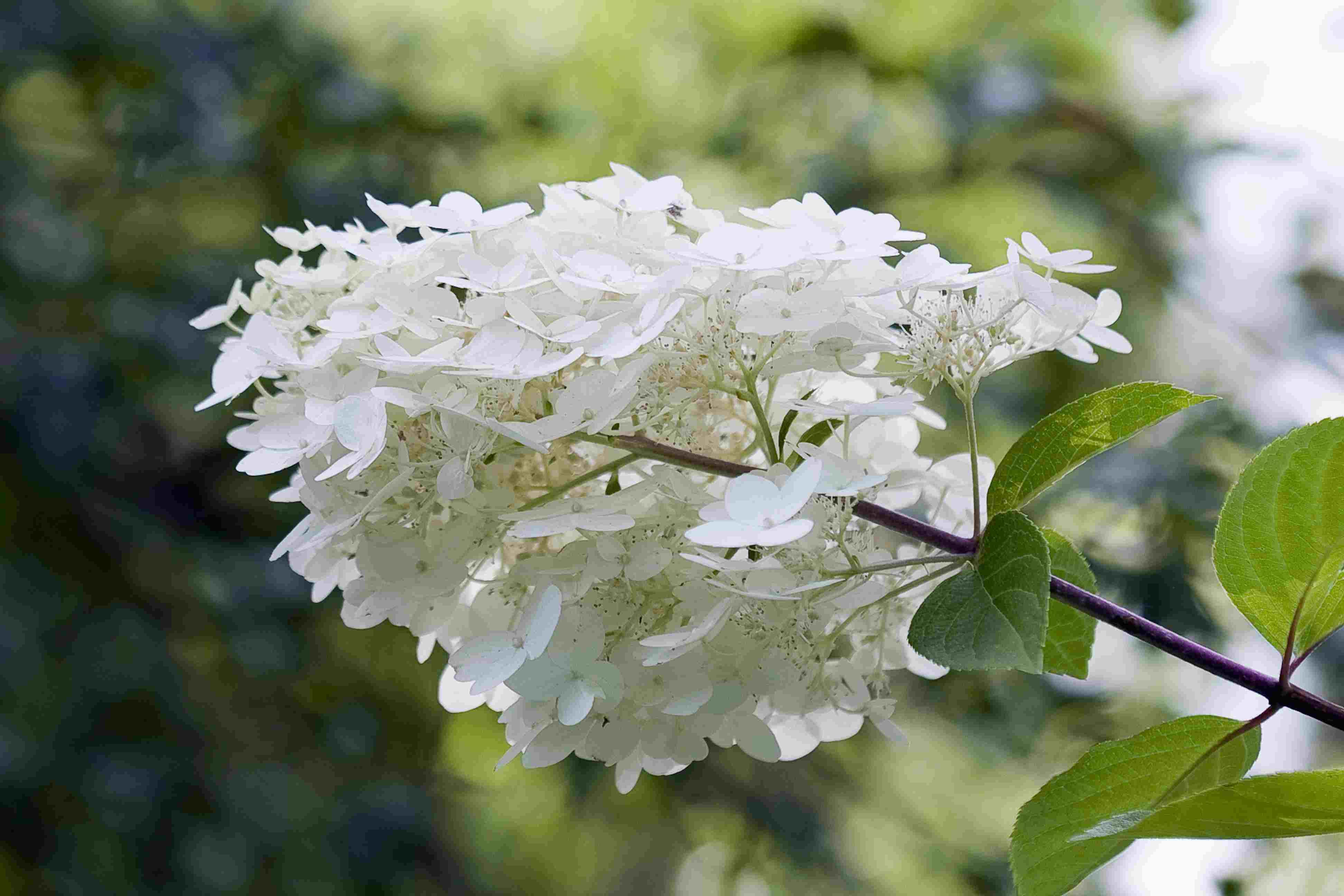 14 beautiful hydrangea varieties mightylinksfo