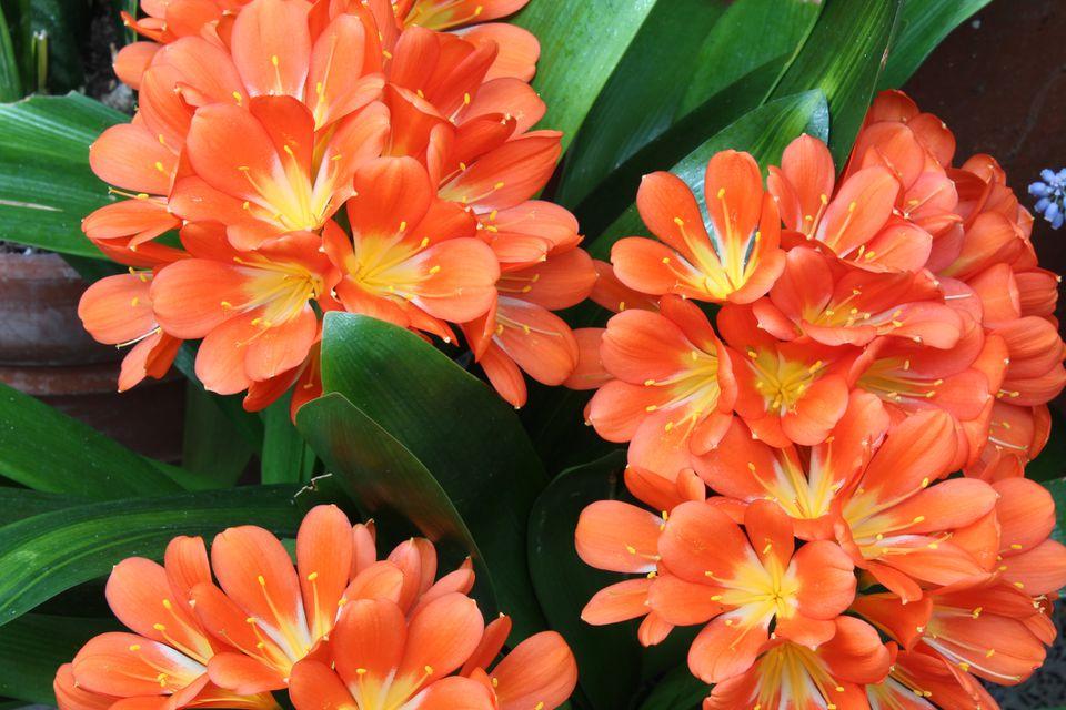Fire Lily; Kaffir Lily