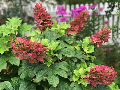 Hydrangea quercifolia ' Ruby Slippers'