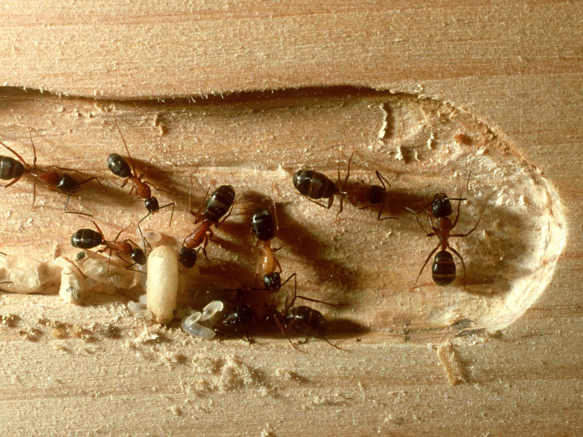 Carpenter Ant Identification Damage And Control