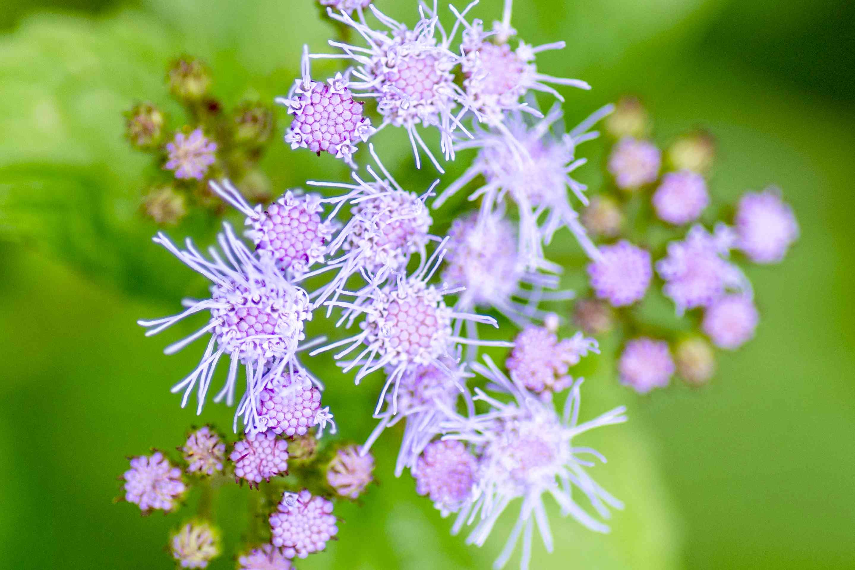 Blue mistflower with purple fuzzy flowers with long stamens closeup