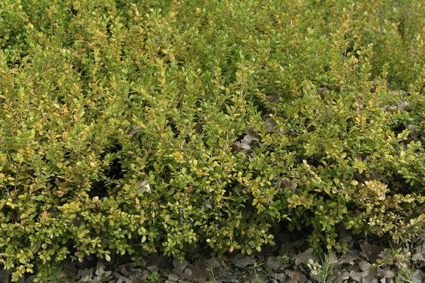 Winter gem boxwood shrub with yellow-green foliage