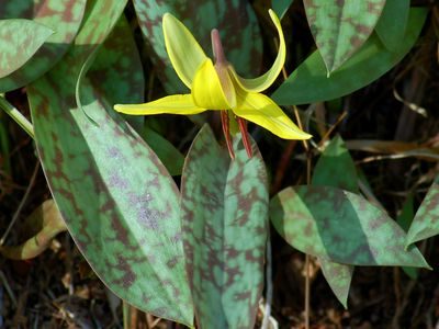 Stella De Oro Daylily: Description and Gardening Tips