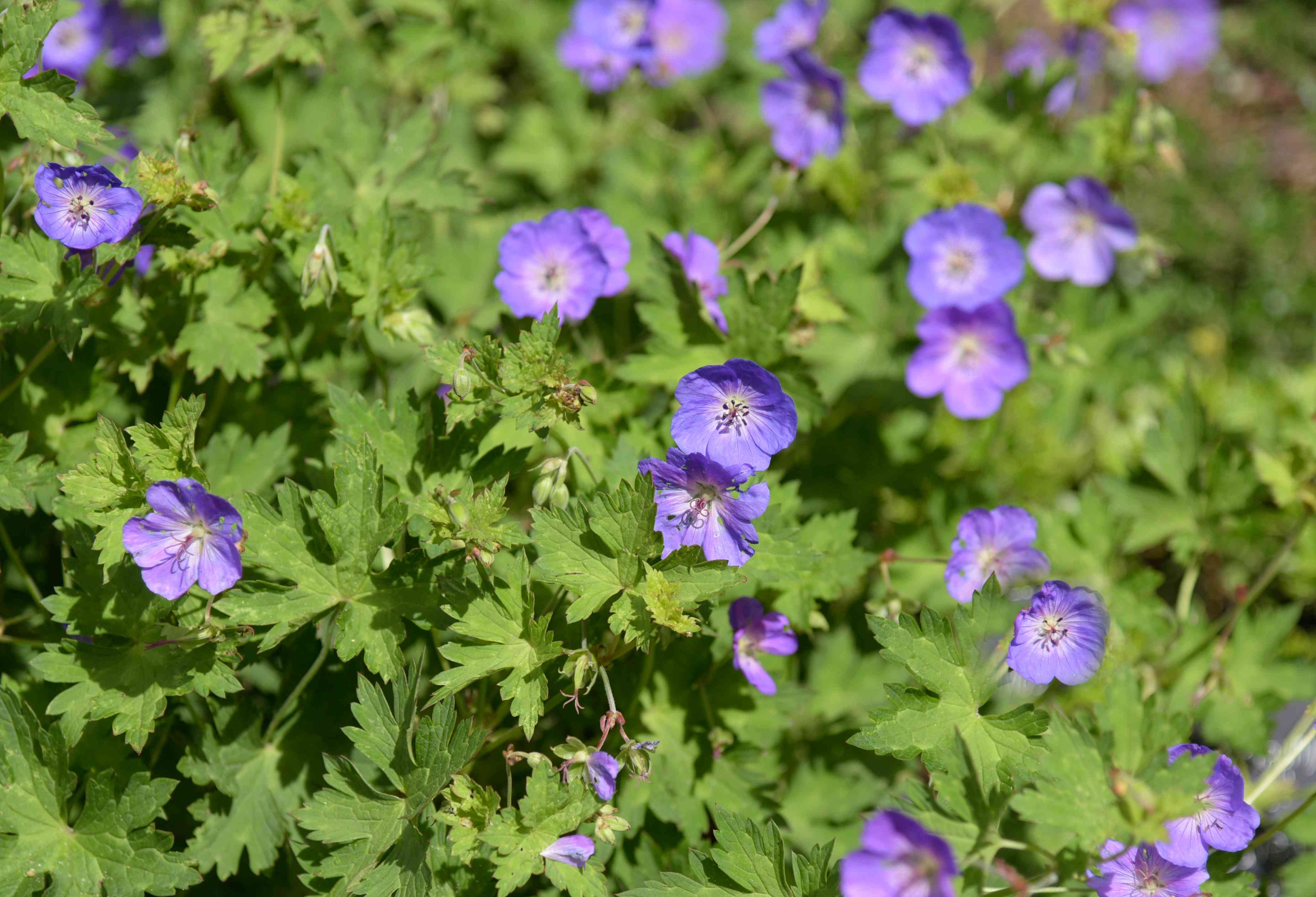 Hardy 'Rozanne' geranium plant with purple-blue flowers surrounded by leaves in sunlight