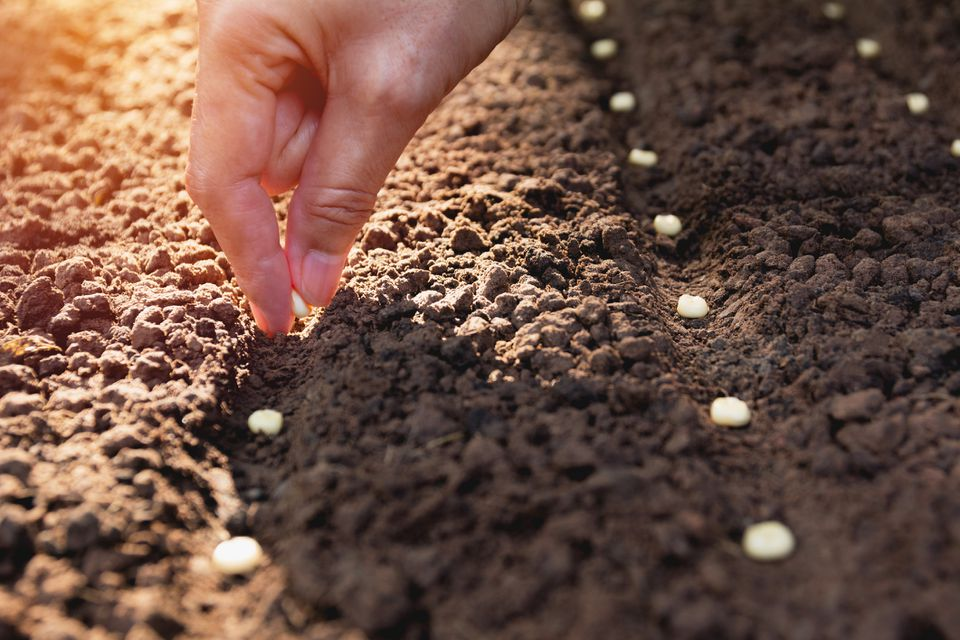 Hand planting seeds in row outside