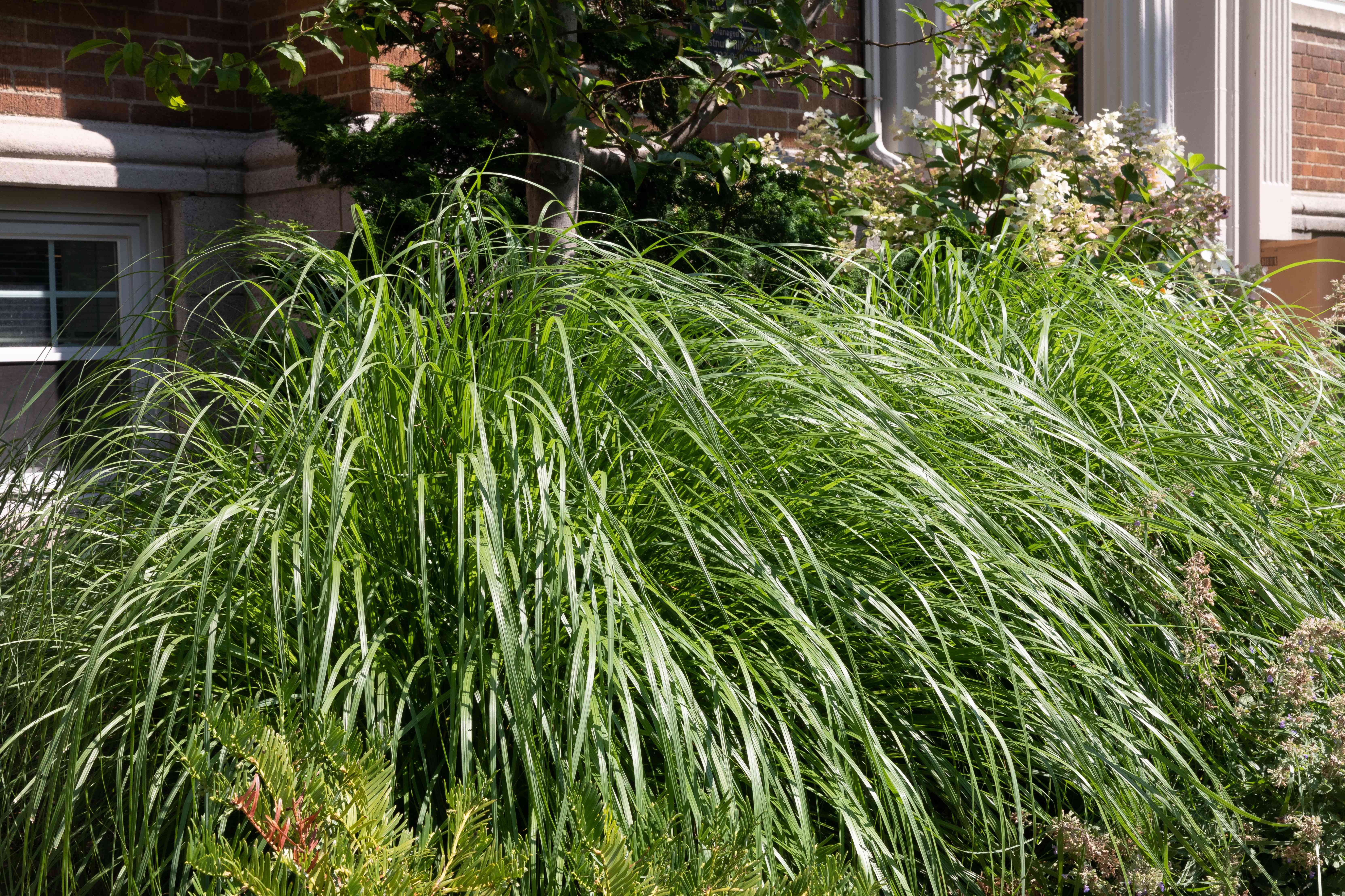lemongrass as part of a landscape design