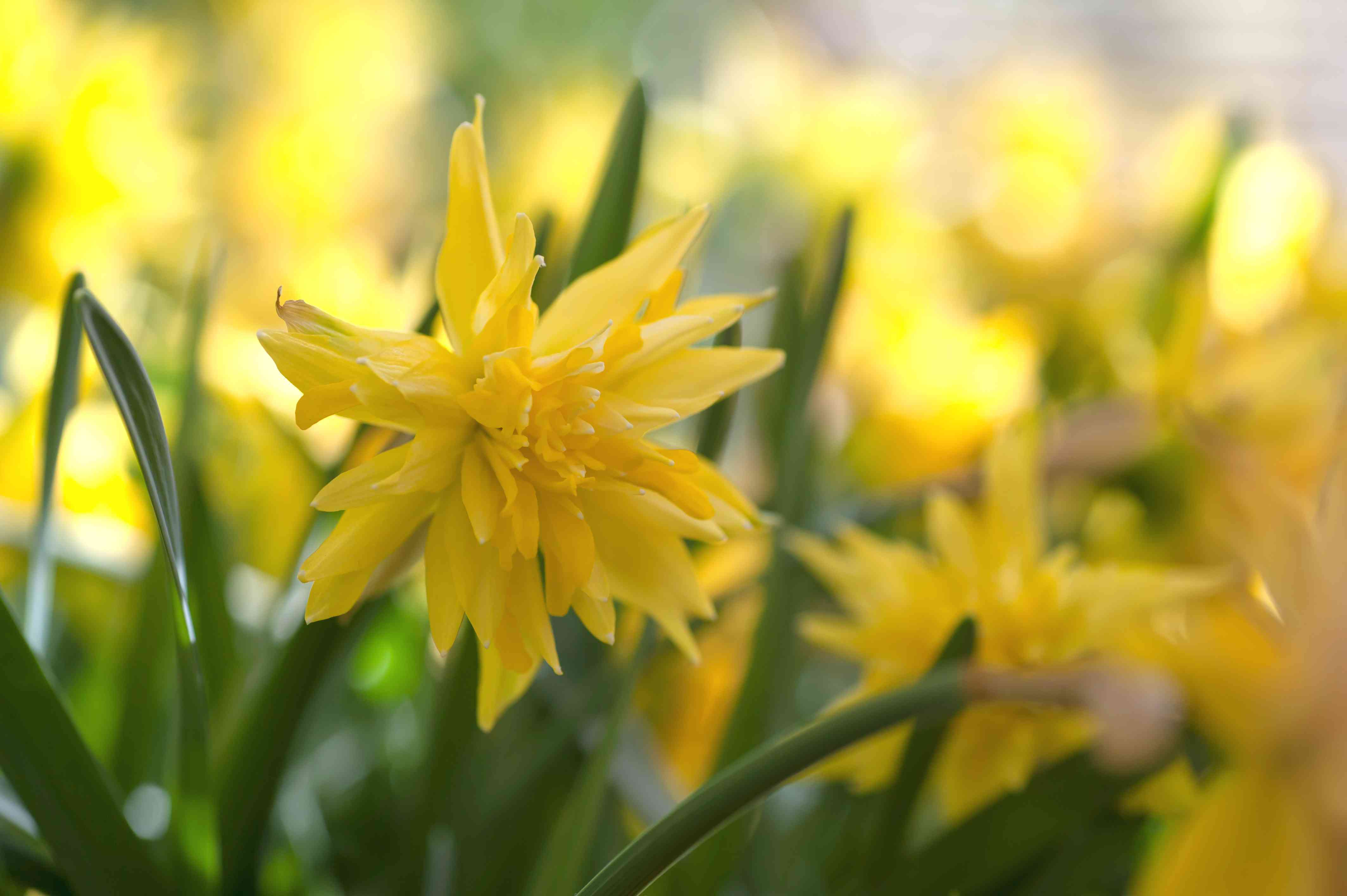 Double daffodil with yellow flowers and green leaves
