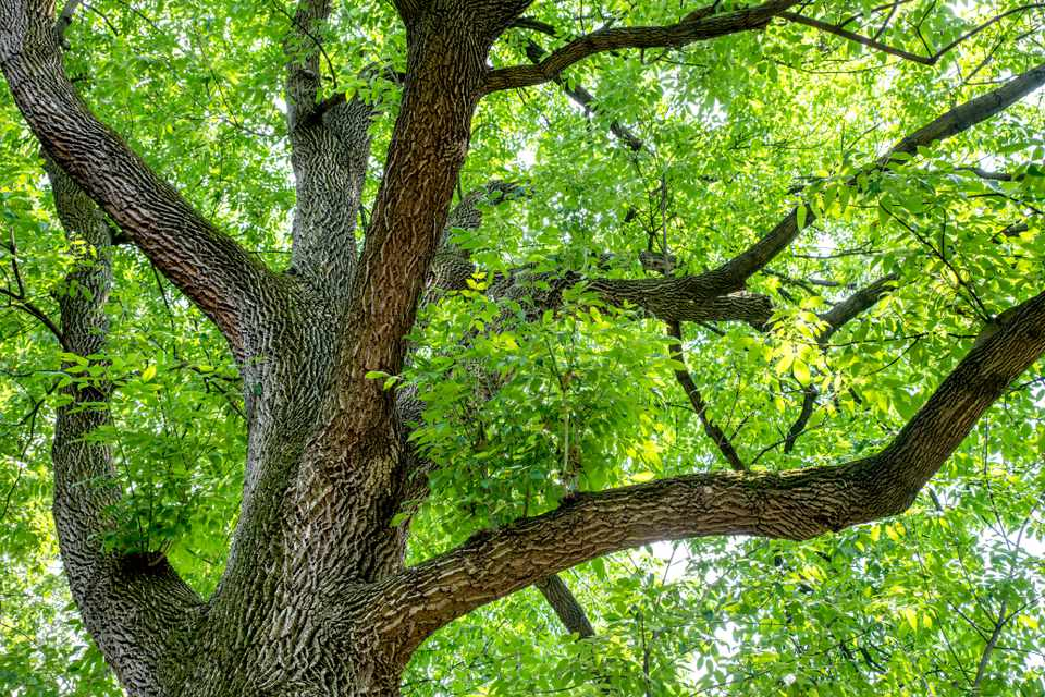 Pumpkin ash tree with white ash grooved tree trunk with bright green leaves in canopy