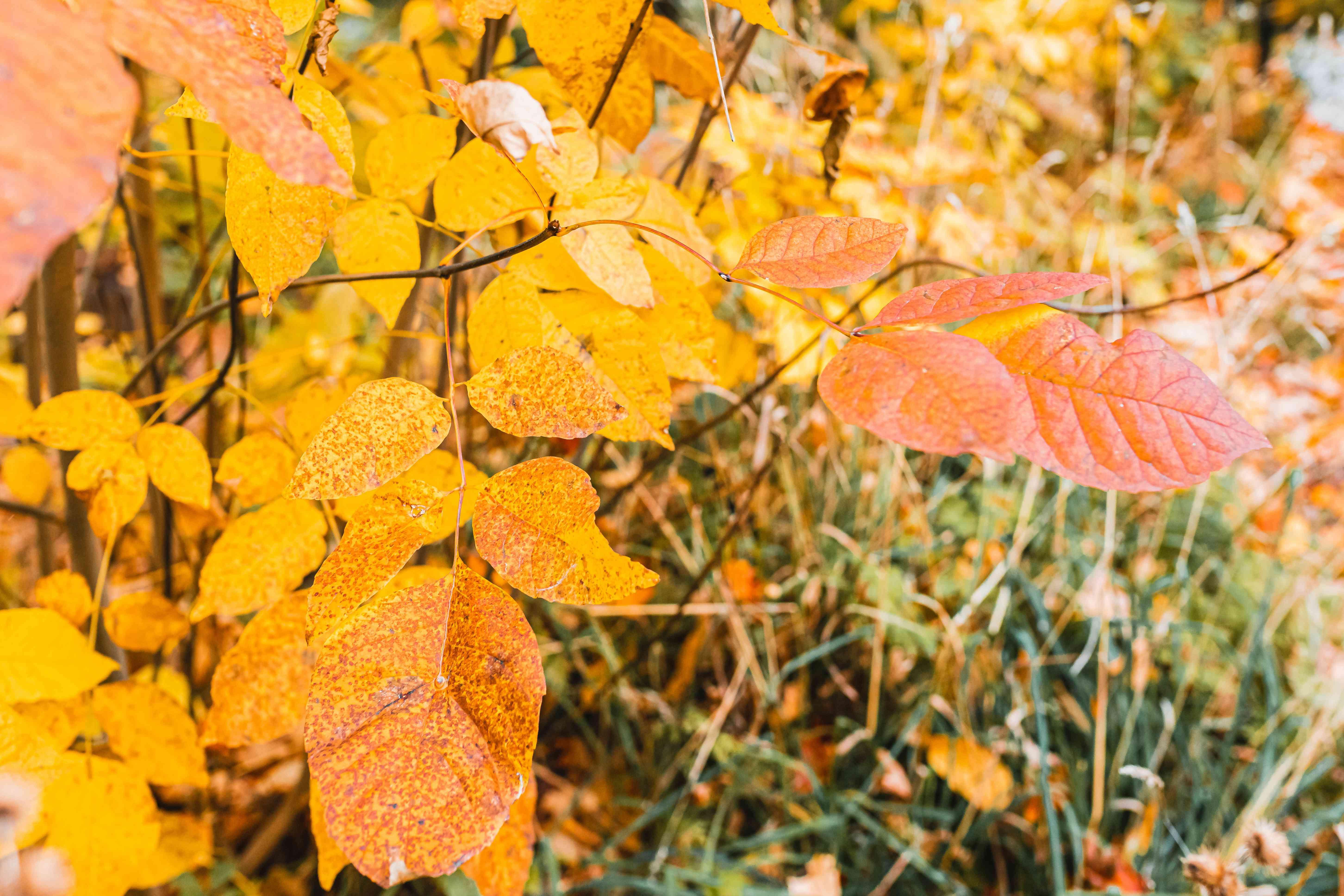 white mountain ash foliage