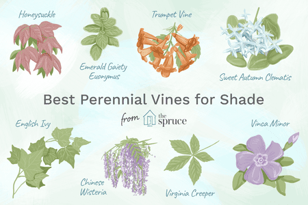 Perennial Vines For Shady Areas