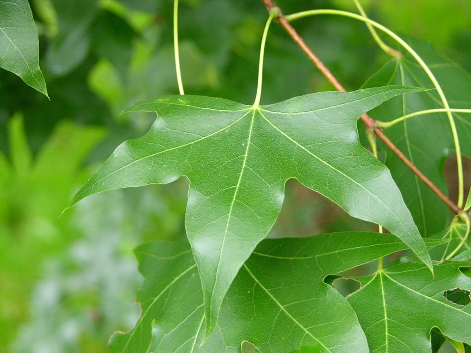 Acer truncatum leaf.