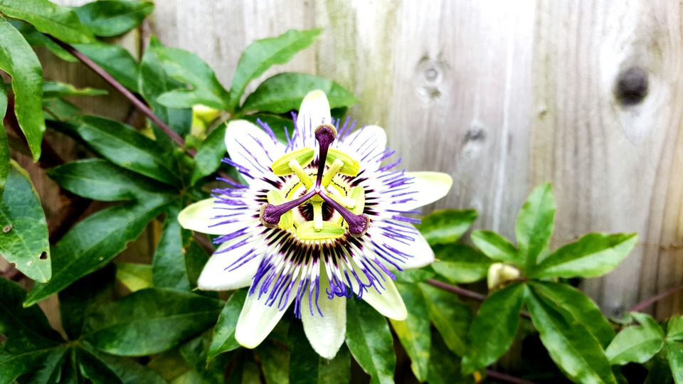 High Angle View Of Passion Flower Blooming In Park