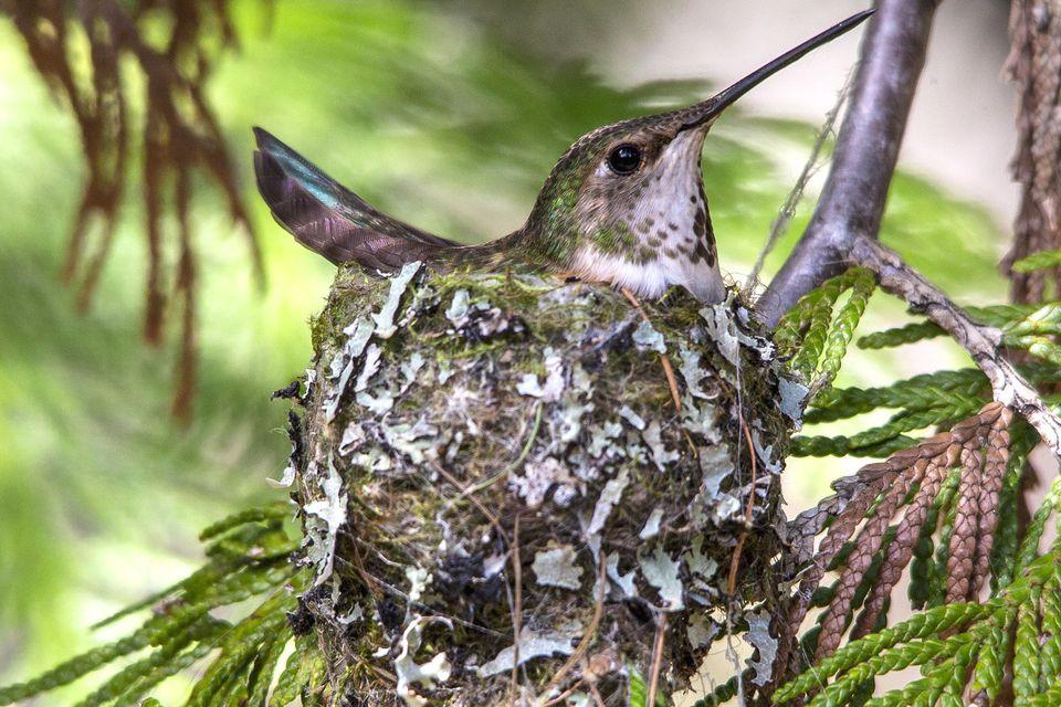 Nesting Rufous Hummingbird
