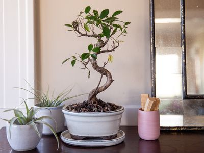 How To Grow And Care For Cherry Tree Bonsai