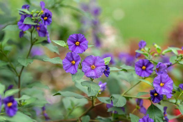 Blue potato bush plant with purple-blue flowers