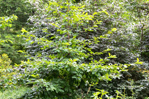 Black gum tree with glossy green leaves in middle of wooded area