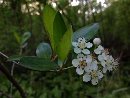 Lovely White Flowers On A Black Chokeberry
