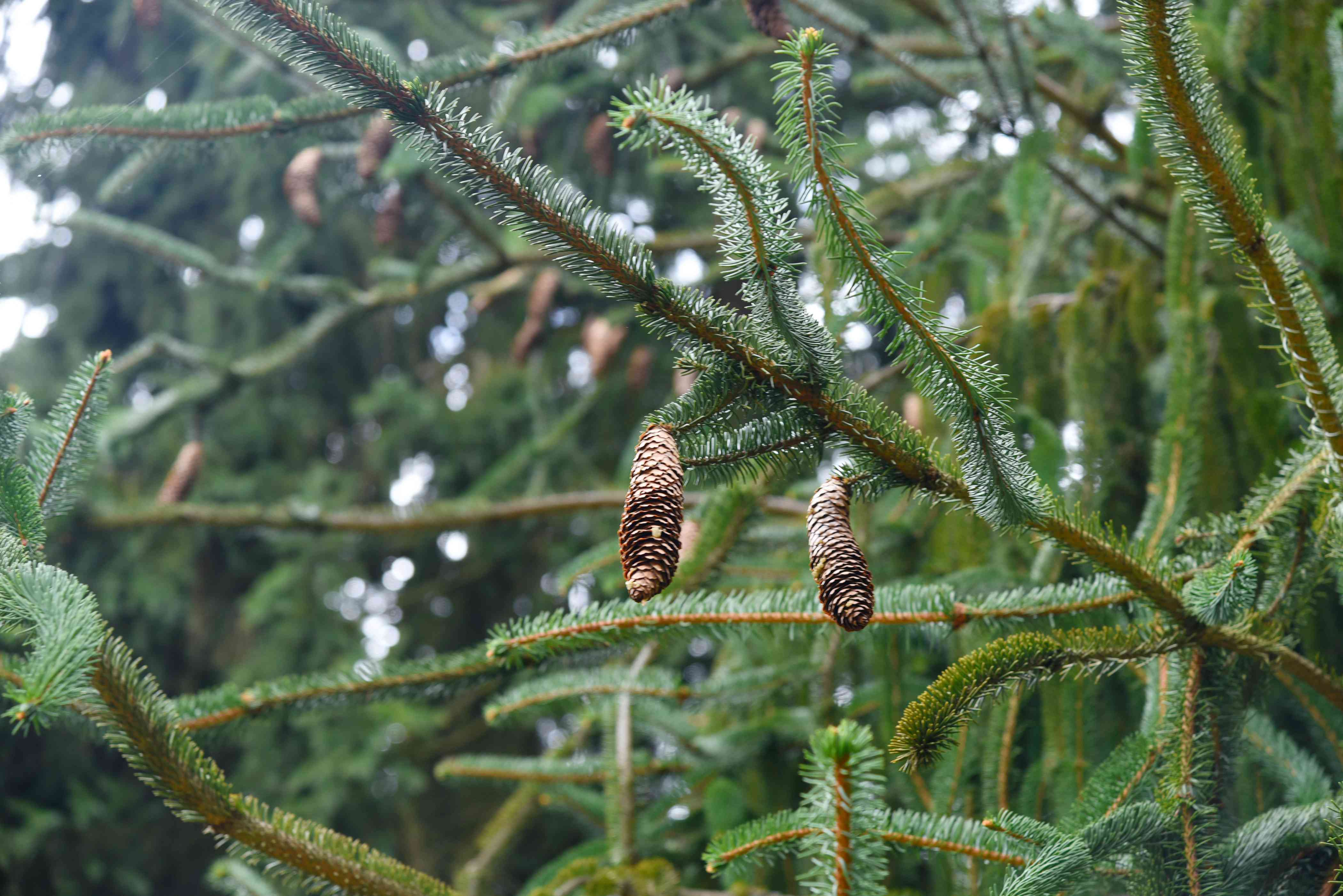 Weeping Norway spruce tree with long thin branches with short evergreen needles and long pinecones hanging