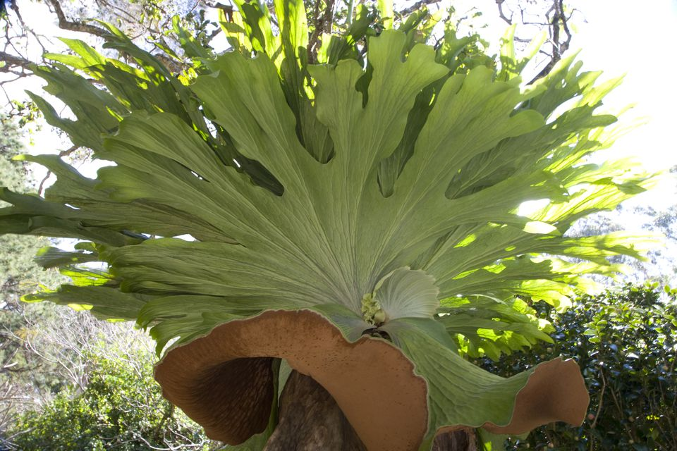 Close-up of a Staghorn fern