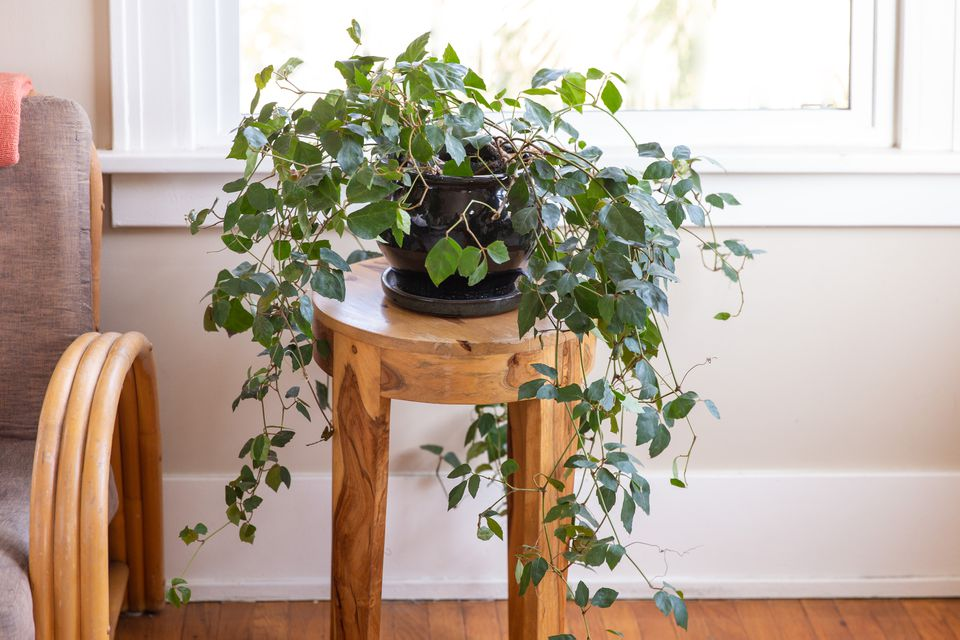 grape ivy vine cascading off of a side table