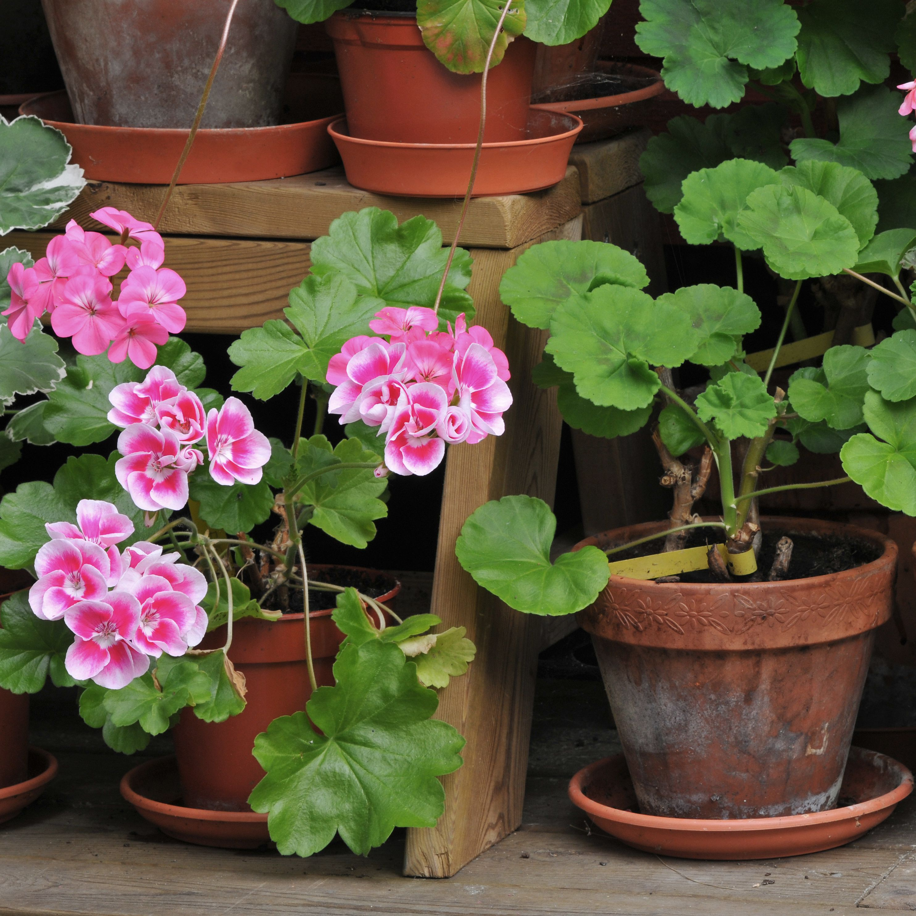 How To Overwinter Geraniums
