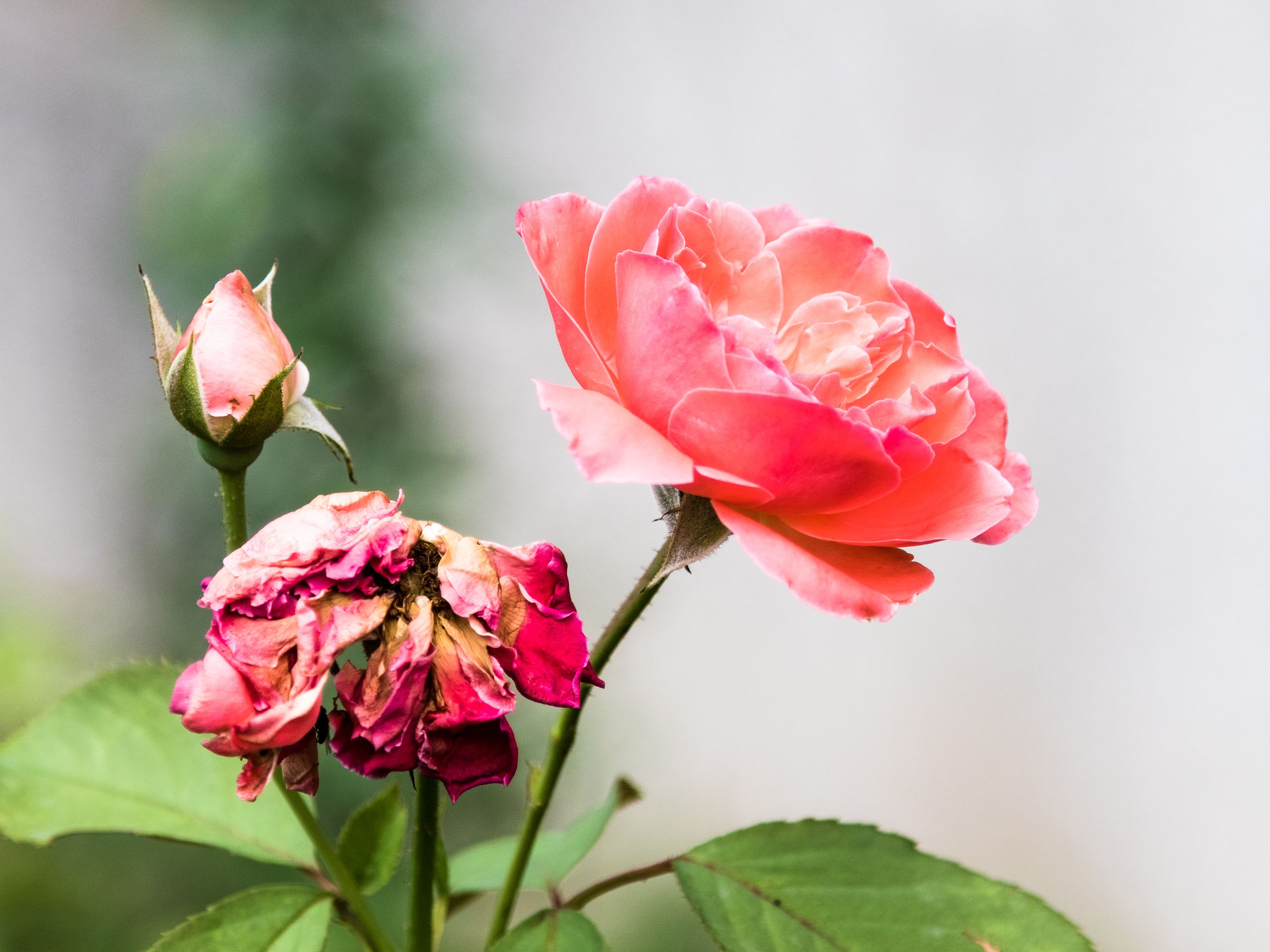 7 Easy To Grow Rose Bushes