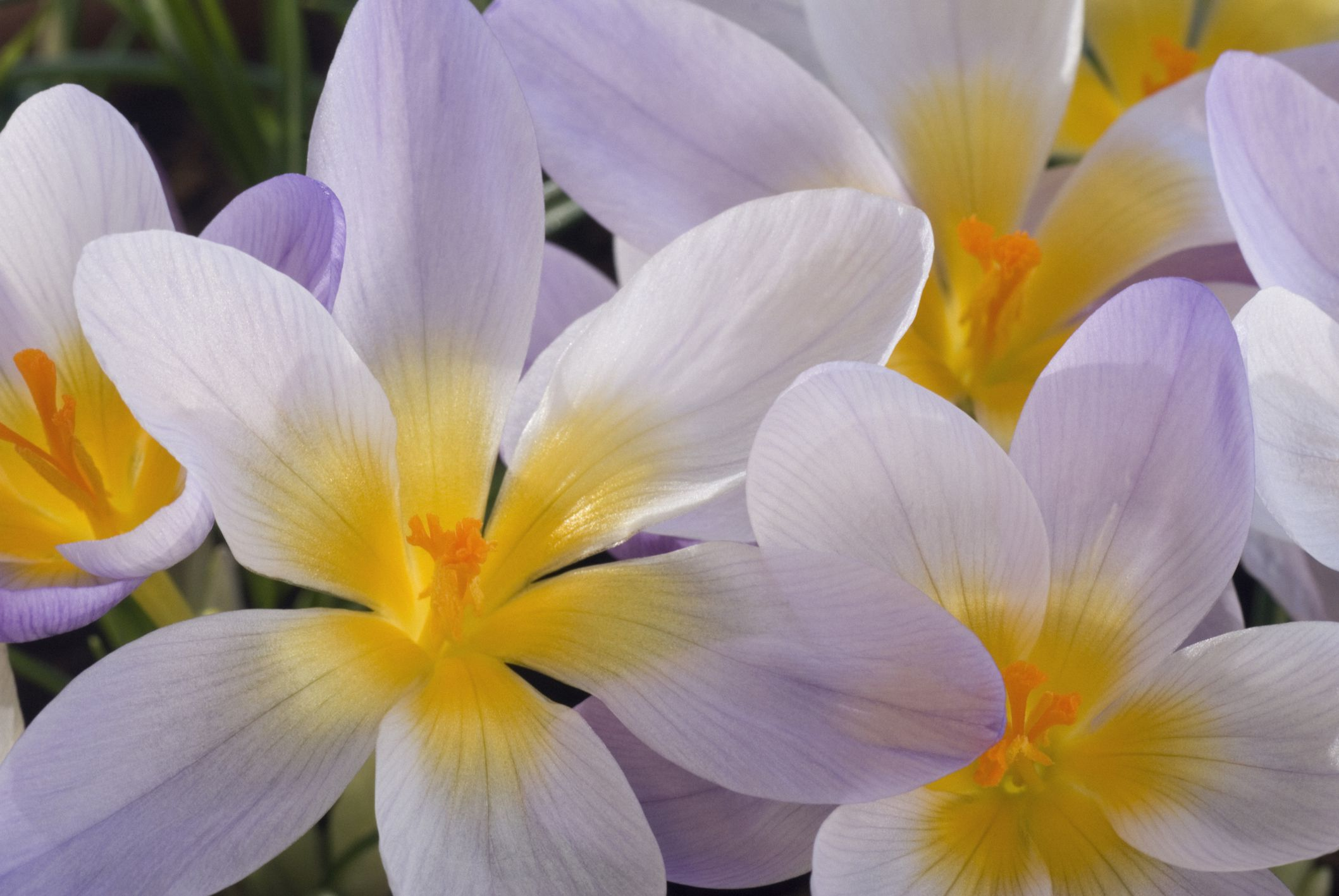 14 beautiful crocus varieties to plant mightylinksfo