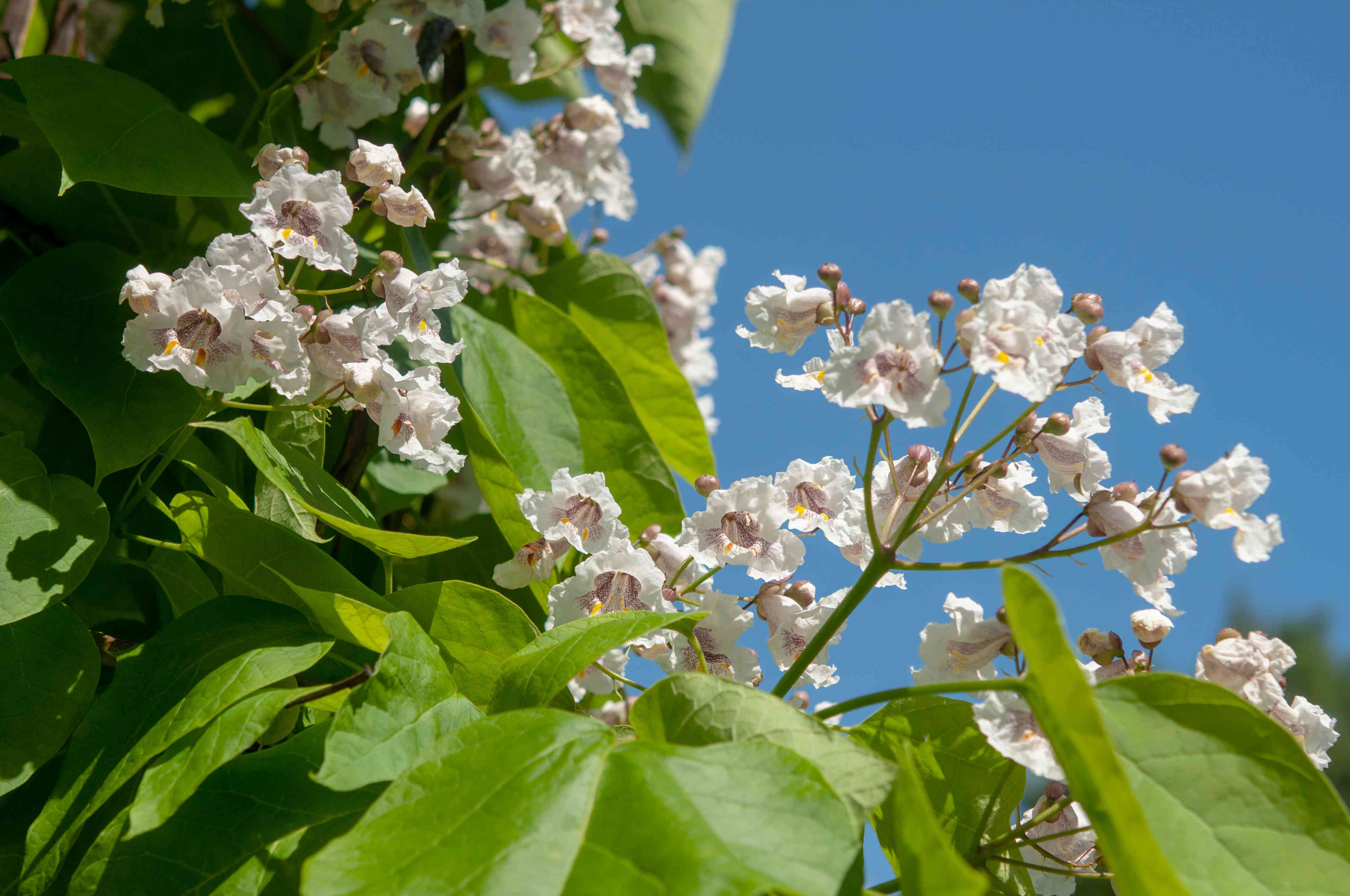 Catalpa tree blossoms with white ruffled flowers and buds next to bright-green heart-shaped leaves in sunlight closeup