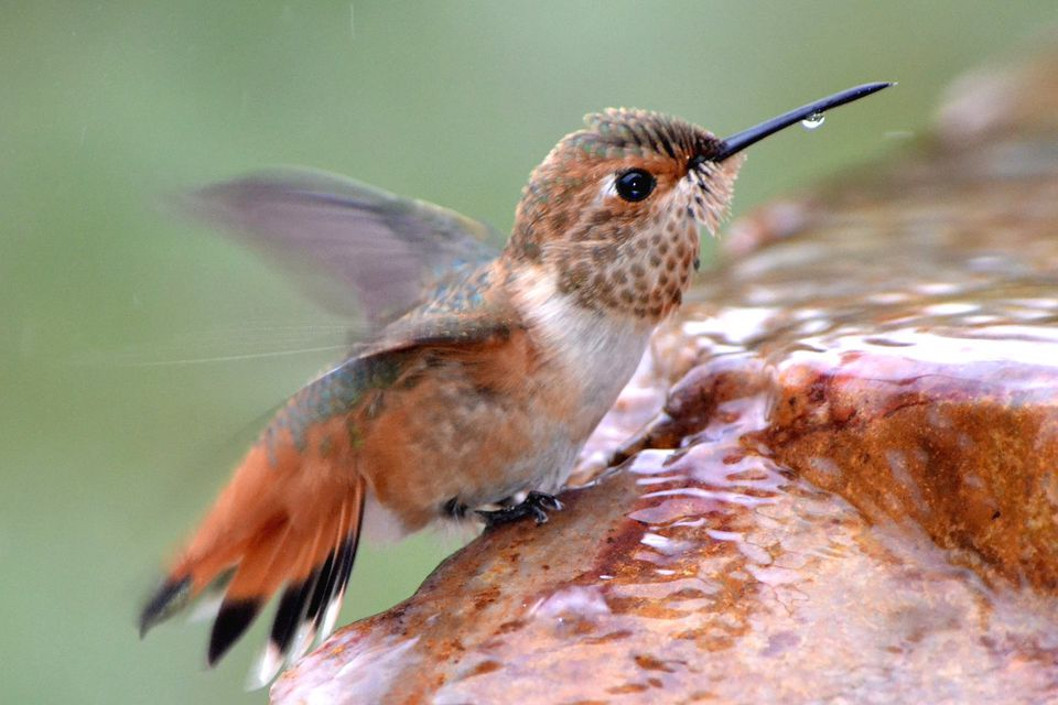Allen's Hummingbird in a Fountain