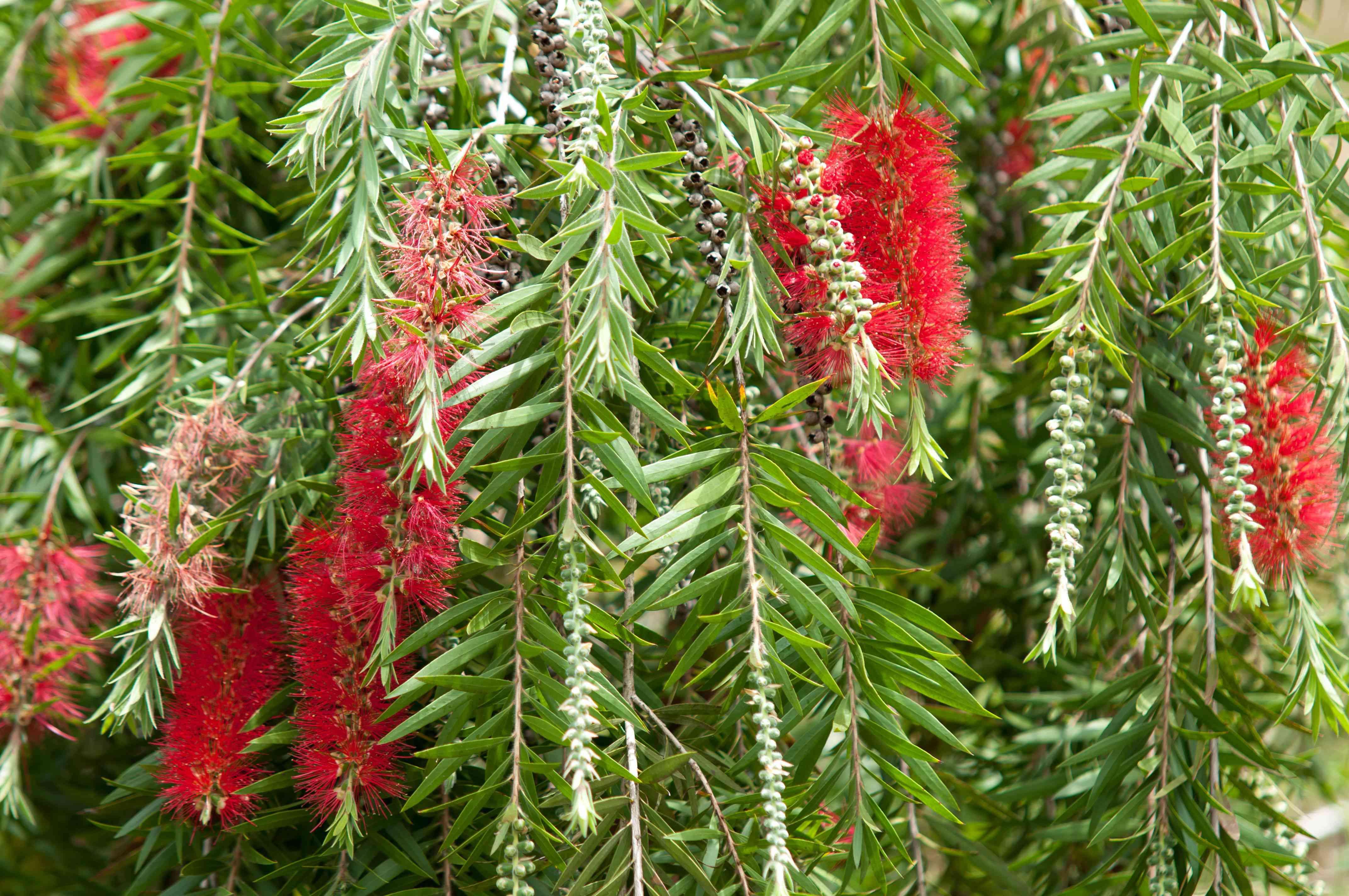 Crimson bottlebrush bush with red bottlebrush-like flowers hanging from branches with short blade-like leaves
