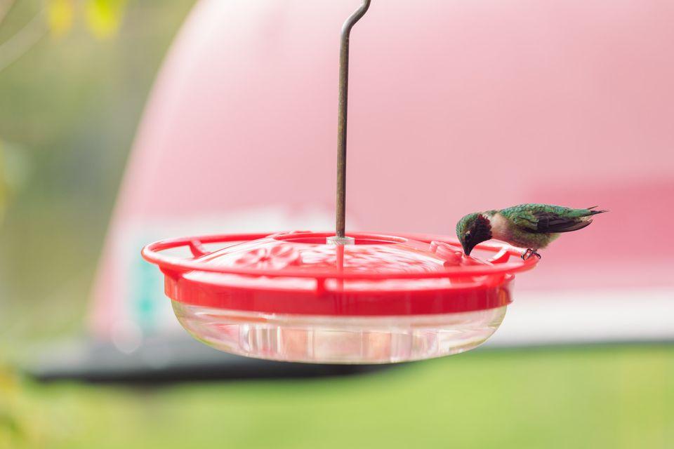 hummingbird drinking nectar