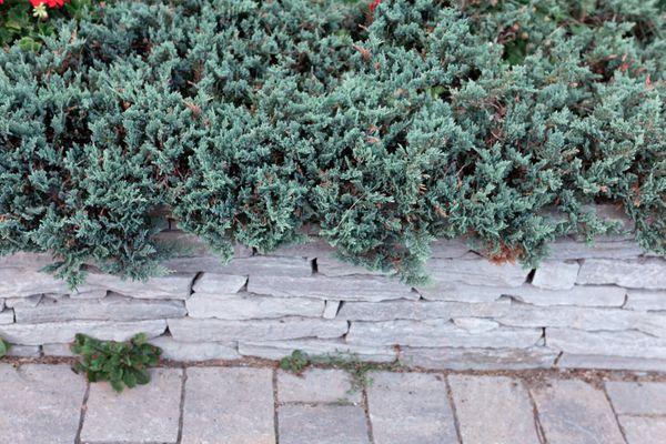 creeping juniper