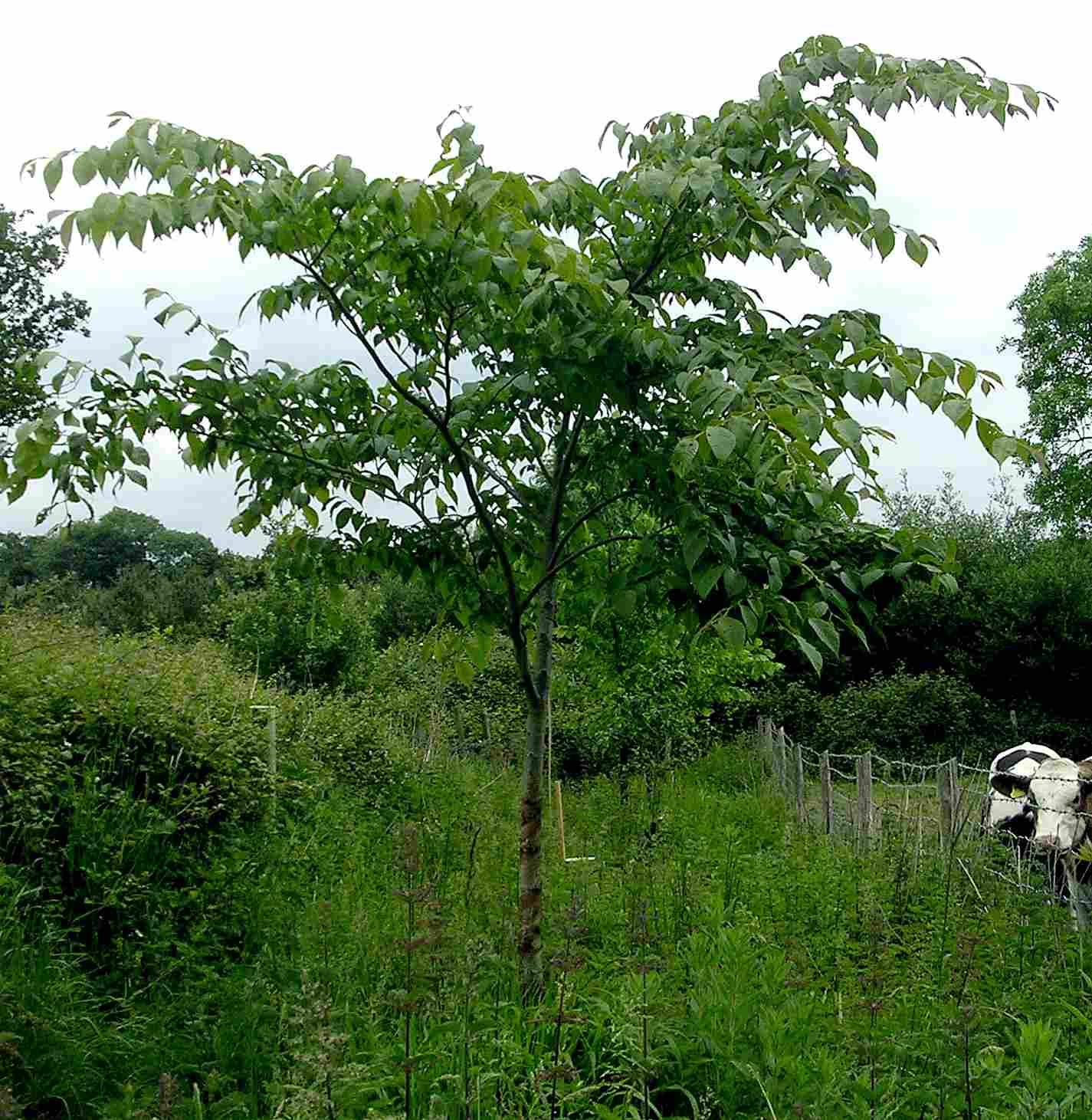 David elm with green foliage