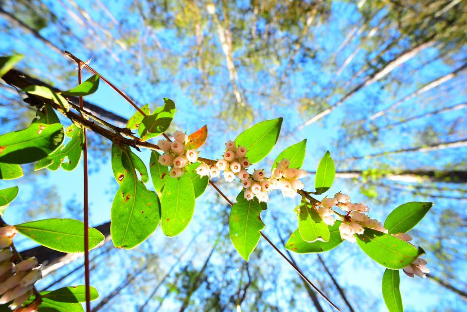 Vertical shot of sparkleberry flowery stem with forest canopy above