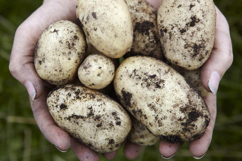 Tips to grow potatoes