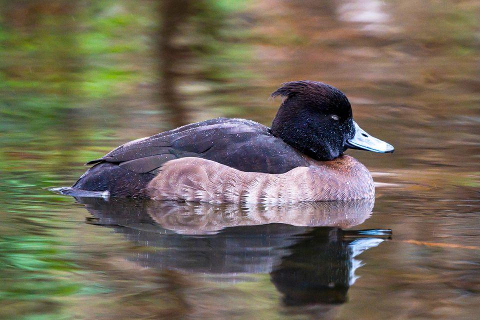 moretta duck