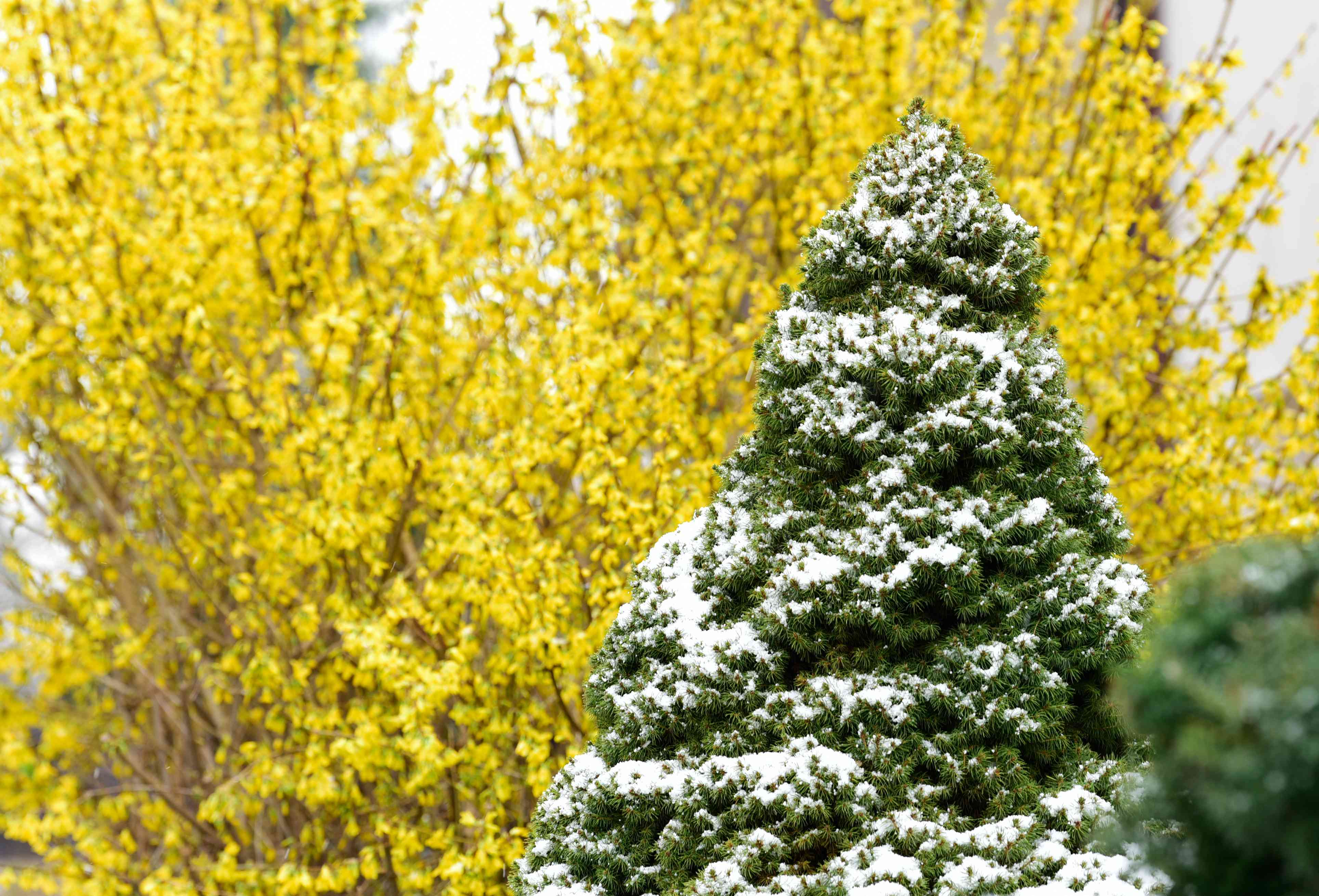 Dwarf Alberta tree top covered in snow in front of yellow-branched tree